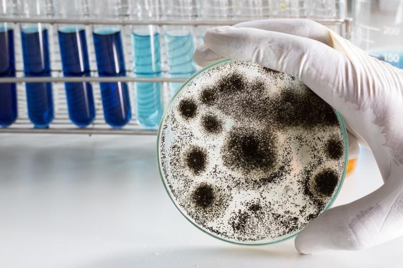 In einem Labor präsentiert eine Person schwarzen Schimmel, der in einer Petrischale wächst