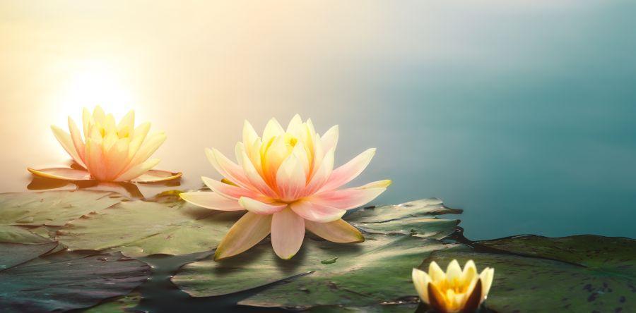 Wasserlilien - symbolisch für Waterlily® Matratzen