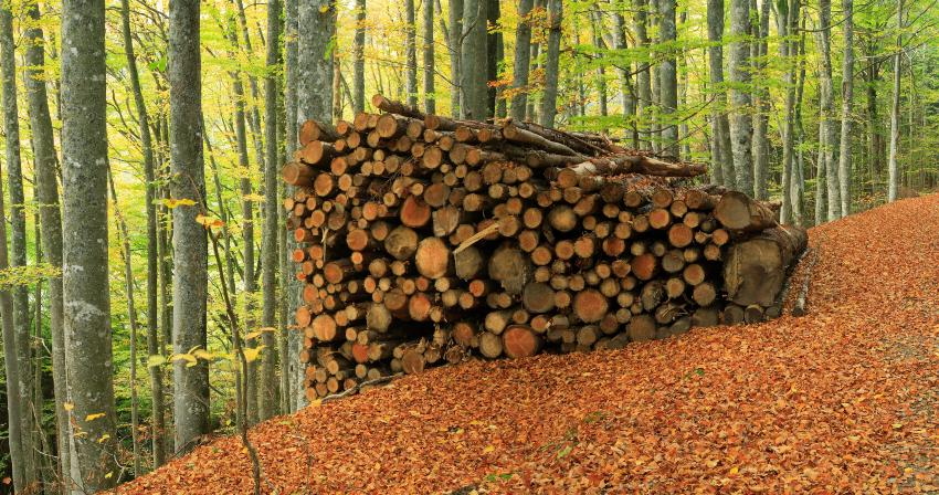 Holzstämme aus Buche, aufgestapelt